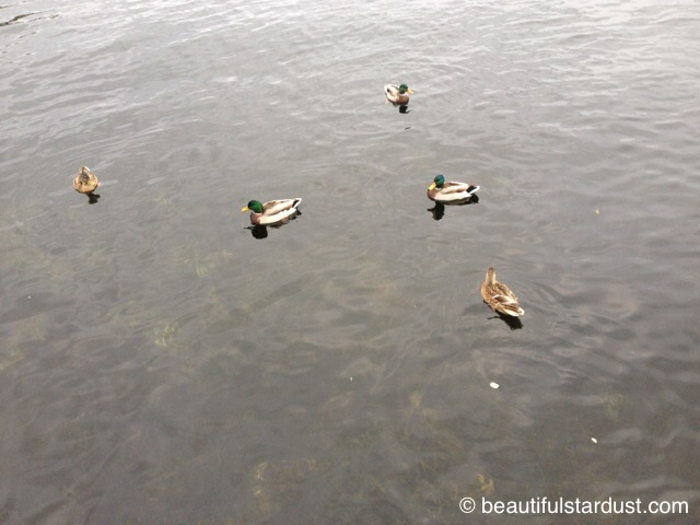 Ducks on a pond c